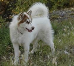 Esquimau Canadien