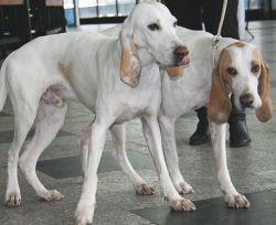 Porcelaine (chien)