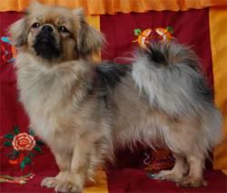 Epagneul Tibétain